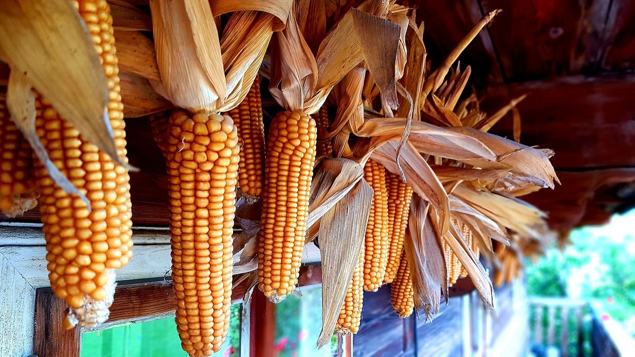 pannocchie di mais per polenta